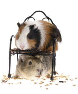 2 guinea pigs - Copy