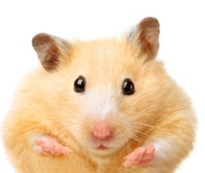 dental care is important for hamsters