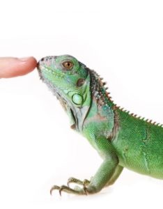 lizard touch