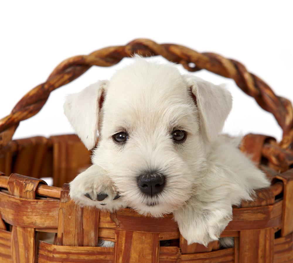 puppy-in-basket
