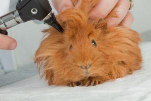 guinea ear