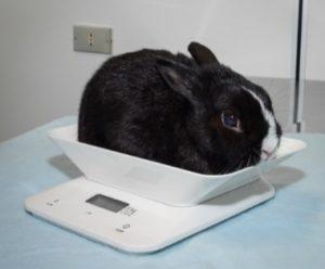 rabbit scale