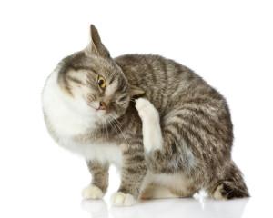 ear-scratching-feline