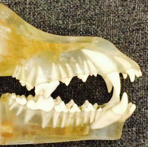 canine teeth closed